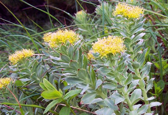 rhodiola rosea plant and flower